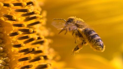 El polen de abeja, un alimento multifuncional