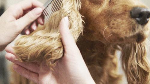 Pulgas: debes proteger a tu mascota en verano